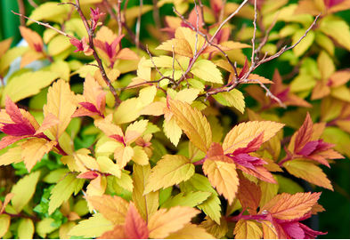 Spirea shrub showing it's new leaf colour of a brilliant red that fades to a mature yellowish colour.