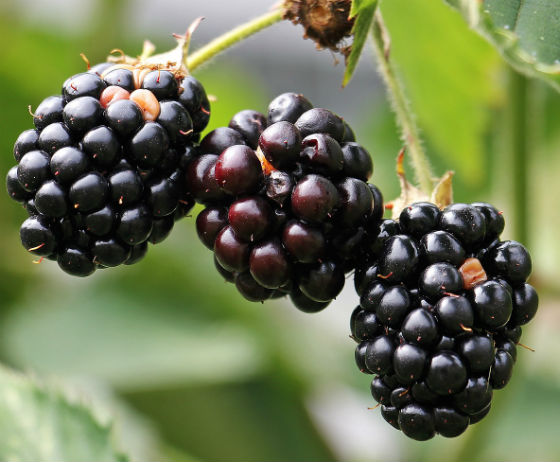 3 large juicy blackberries hanging from a blackberry plant