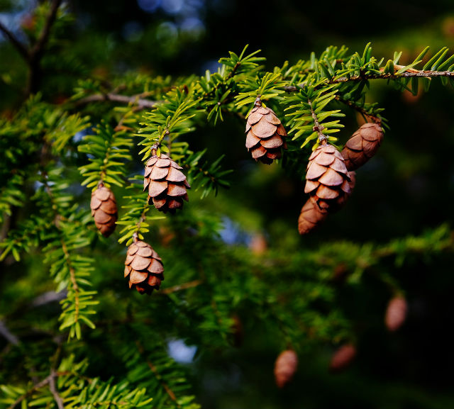 A bunch if brown cones hanging from the branch of a Hemlock tree