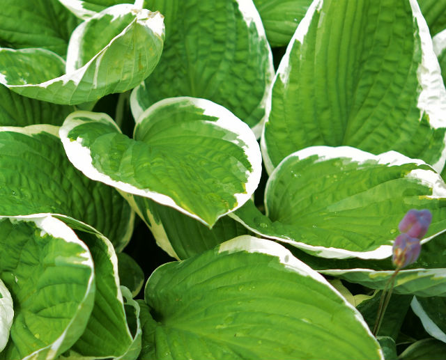 Variegated Hostas for shaded areas