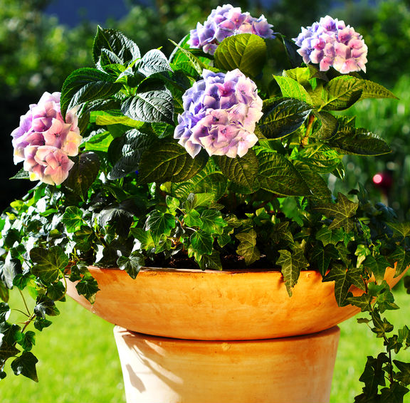 Pinkish purple flowers on this hydrangea plant growing in a container.