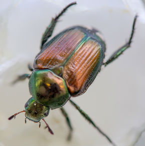 A close up picture of a Japanese Beetle