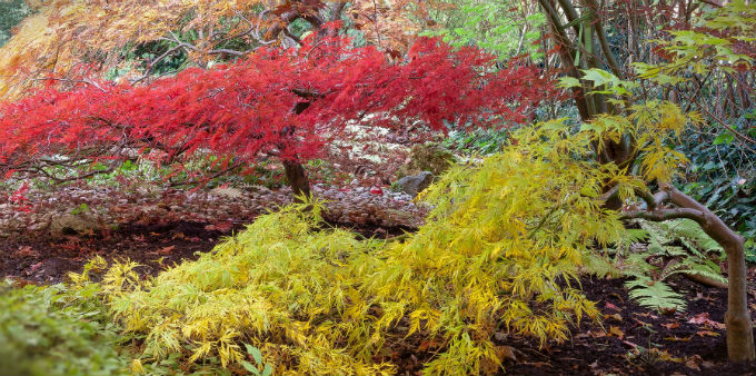 2 Japanese Maple trees in a garden setting. One red tree and one yellow.