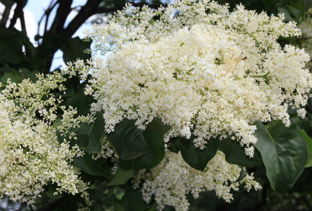clusters of creamy white flowers with dark green leaves
