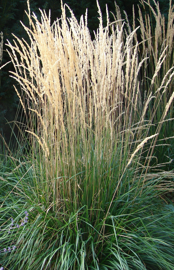 tall green ornamental grass with tan coloured plumes