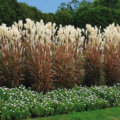 Tall brownish blades of grass with white plumes on top, small row of white flowers along the bottom of the grasses with very tall evergreen trees in the background.