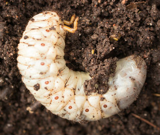 A white Japanese beetle grub lying in dirt.