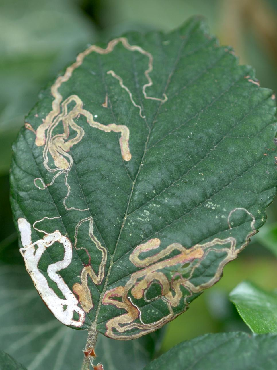 Get rid of Leaf Miners