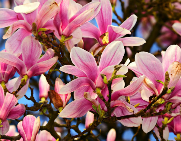 large beautiful soft pink cup-shaped flowers on bare branches.