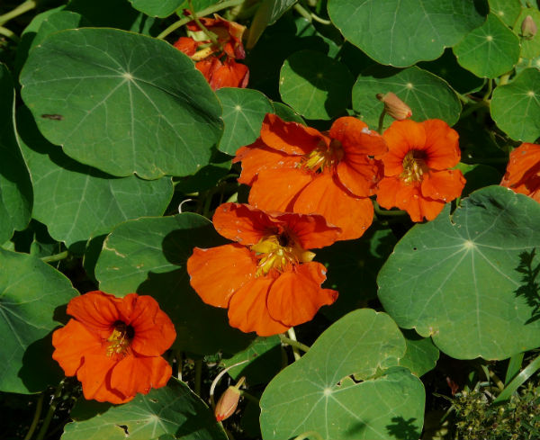 Red flowers and round leaves of a Nasturtium plant that helps keep Aphids away.