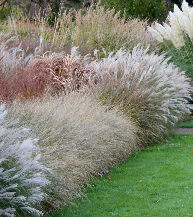 Different types of ornamental grasses all in bloom with different coloured plumes.