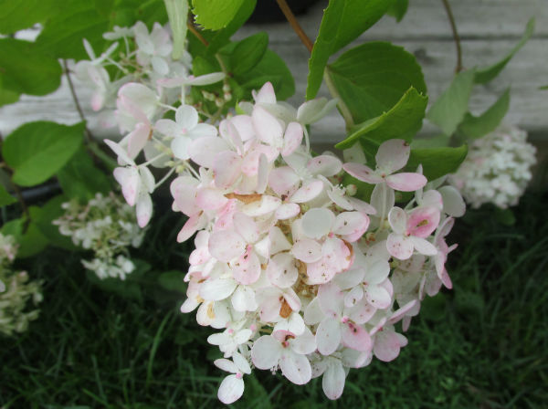 PeeGee Hydrangea with large white cone-shaped flowers with a hint of pink on the edges.