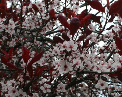Purple Leaf Sand Cherry covered with light pink flowers.
