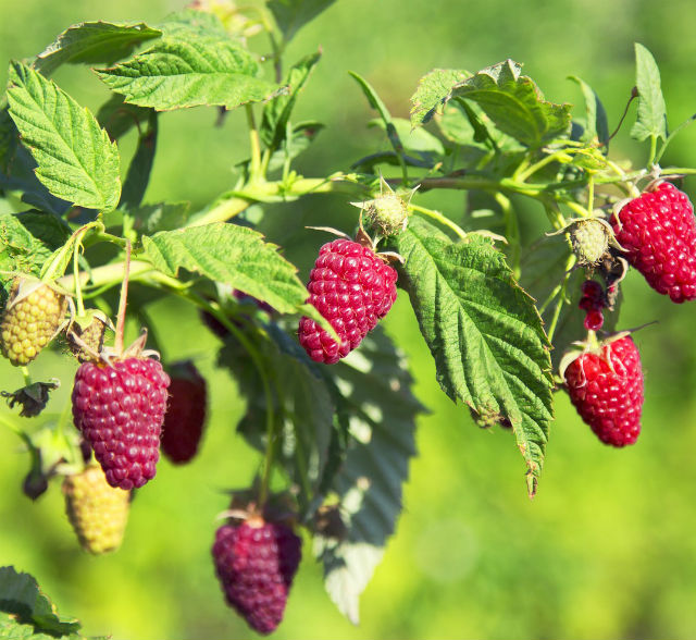 Large ripe raspberries hanging from a raspberry plant