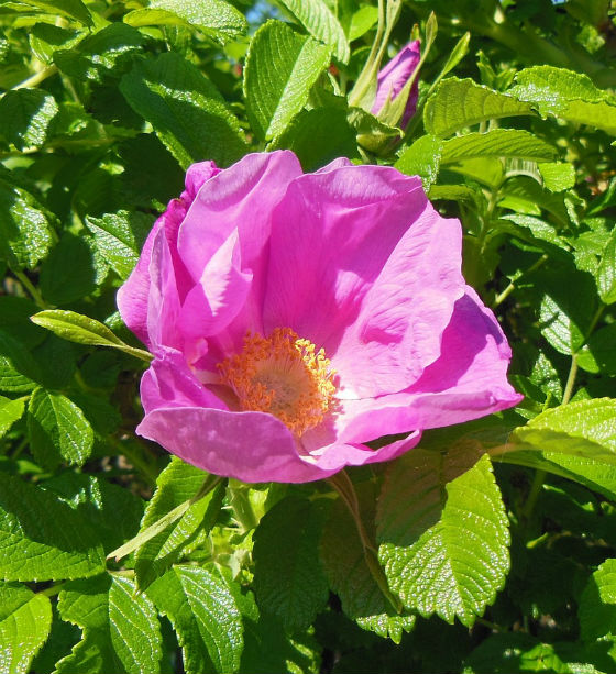 Rosa Rugosa shrub with large bright pink flower