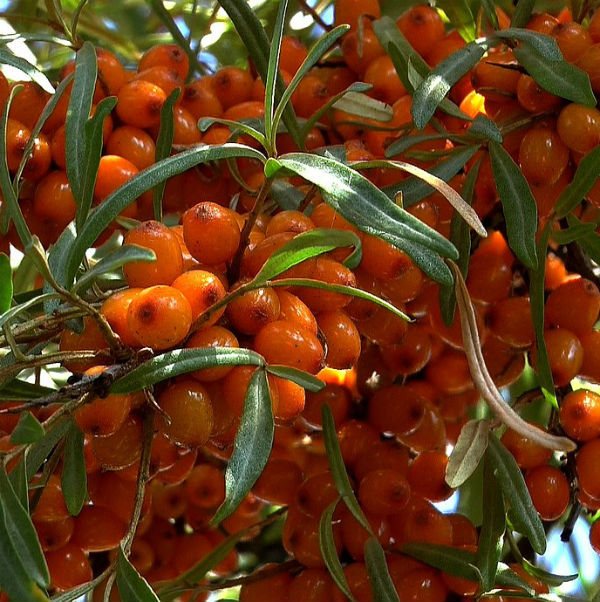 Clusters of small orange berries cover this sea buckthorn plant
