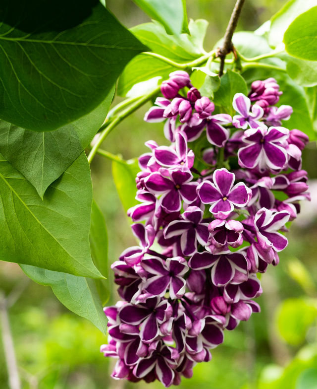 Bright purple flower clusters with white edges hanging from a branch with green leaves