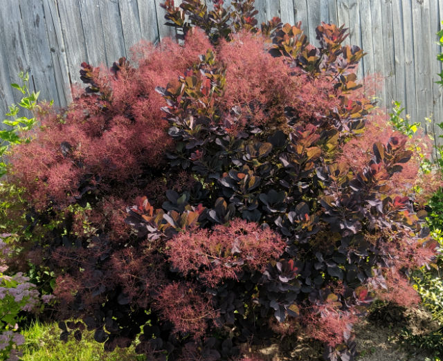 small Purple leaved tree with in bloom. Blooms look like puffs of smoke.