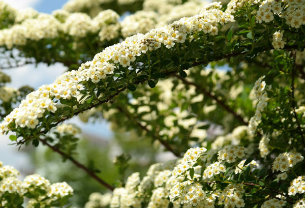Long arching stems covered in small clusters of white flowers