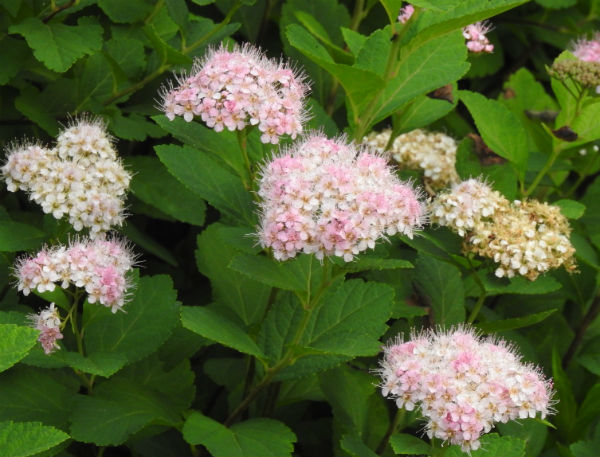 Small clusters of light pink flowers cover the dark green leaves