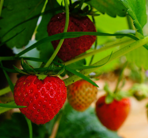 Ripe red strawberries hanging from the vine of a strawberry plant