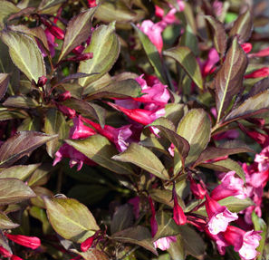 Tango Weigela. Dark purplish leaves and redish pink flowers