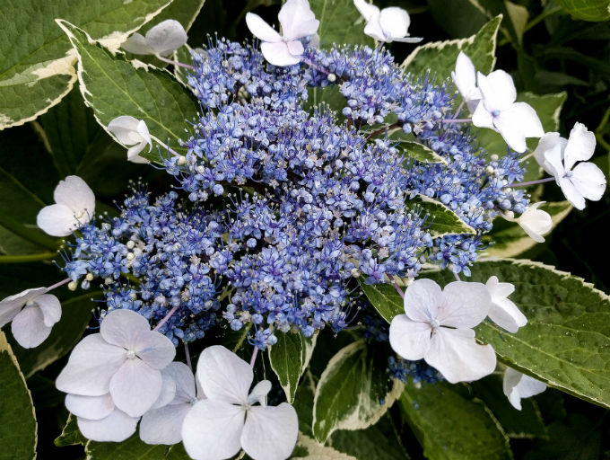 Lacecap Variegated Hydrangea with blueish coloured blooms with single white flowers around surround the edges of the blooms.