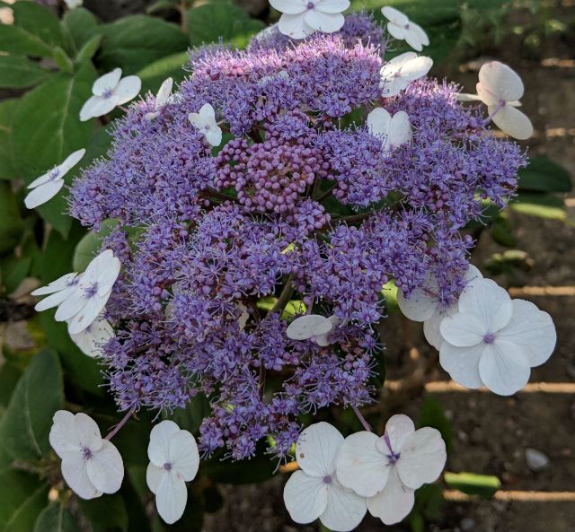 Velvet Leaf Hydrangea with purplish lacecap blooms surrounded by single white flowers