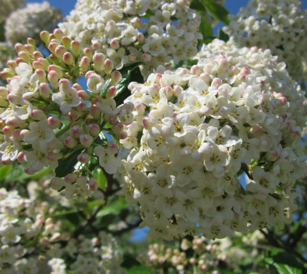 Viburnum Bush covered in large white snowball flowers