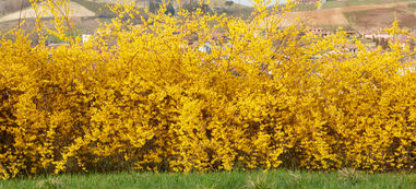 A hedge of Forsythia bushes in full bloom of bright yellow flowers