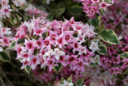 Large clusters of pinkish white flowers covering this variegated leaf weigela bush