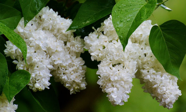Tiny white clusters of white panicle flowers hanging from green leaved branches
