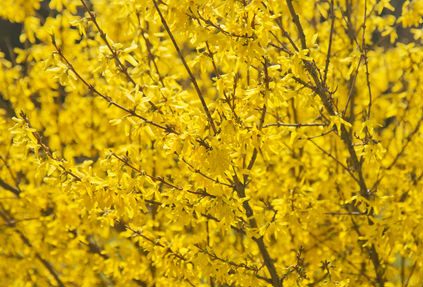 Add a Forsythia bush to your yard to add colour in early spring