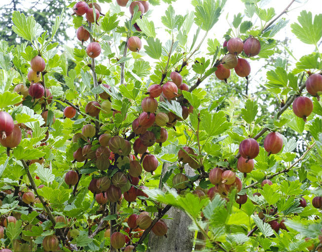 Grow some berry plants in your backyard