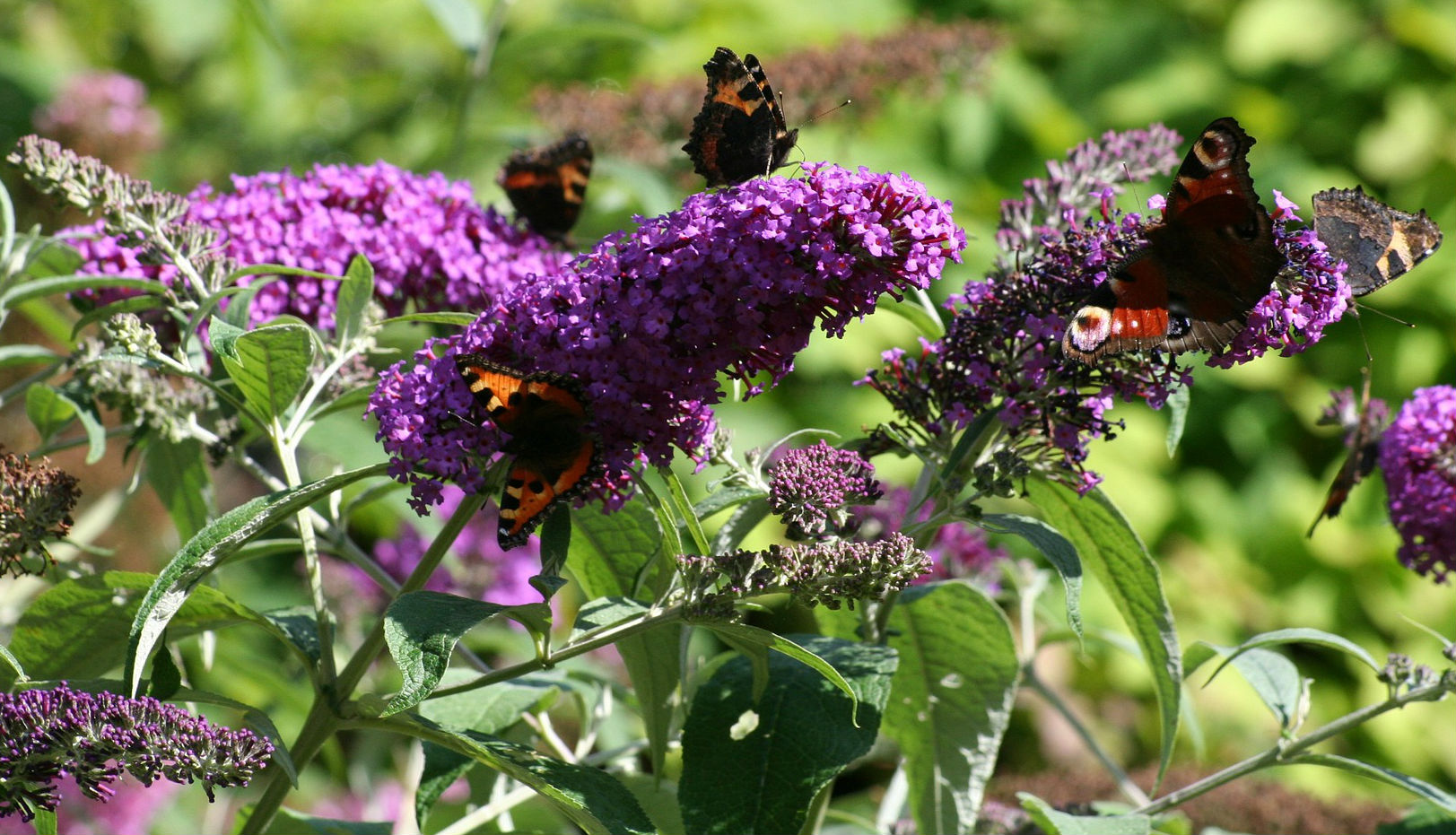 Black and orange Butterflies collecting nectar from the purple flower clusters of a butterfly bush