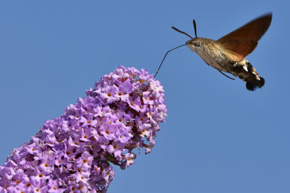 Hummingbird moth collecting nectar from a butterfly bush