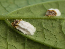 white scale insects